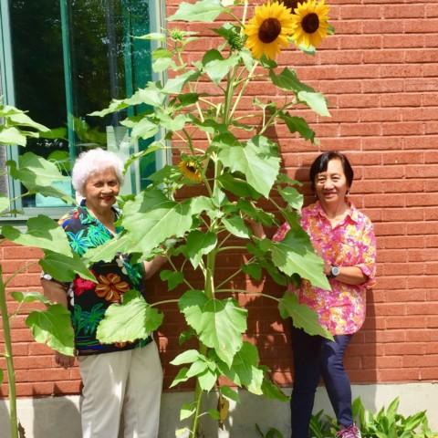Towering Sunflowers!